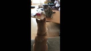 猫と犬はどっちが強い? /柴犬エキゾチックショートヘアー【ぺちゃたわch】 thumbnail