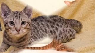 Beautiful photos Ocicat breed cats