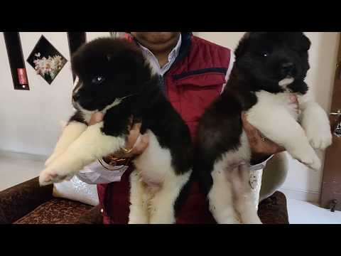 America Champion and India Champion parents  AKITA puppies available- Doggyz World
