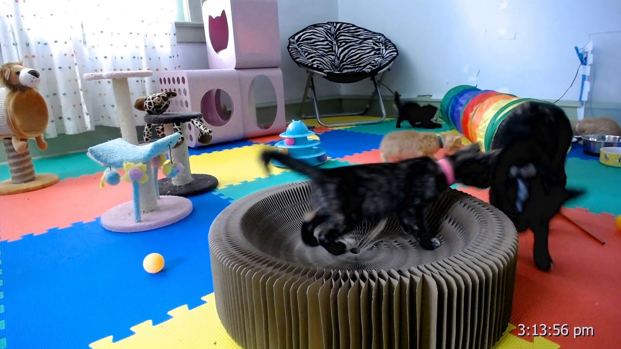 1684cab50a028e Kitkat Playroom: Cat Dancer or Dancing Cats? - YouTube