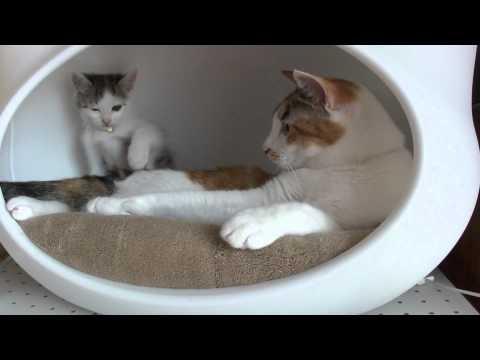 堪忍袋の緒が切れた!(教育的指導をする猫) / Education of cats