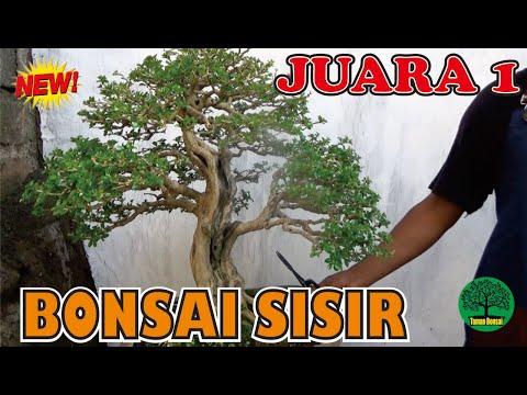 intip-bonsai-sisir-terbaik-juara-1-di-kontes-bonsai-nasional-kab-malang-2020