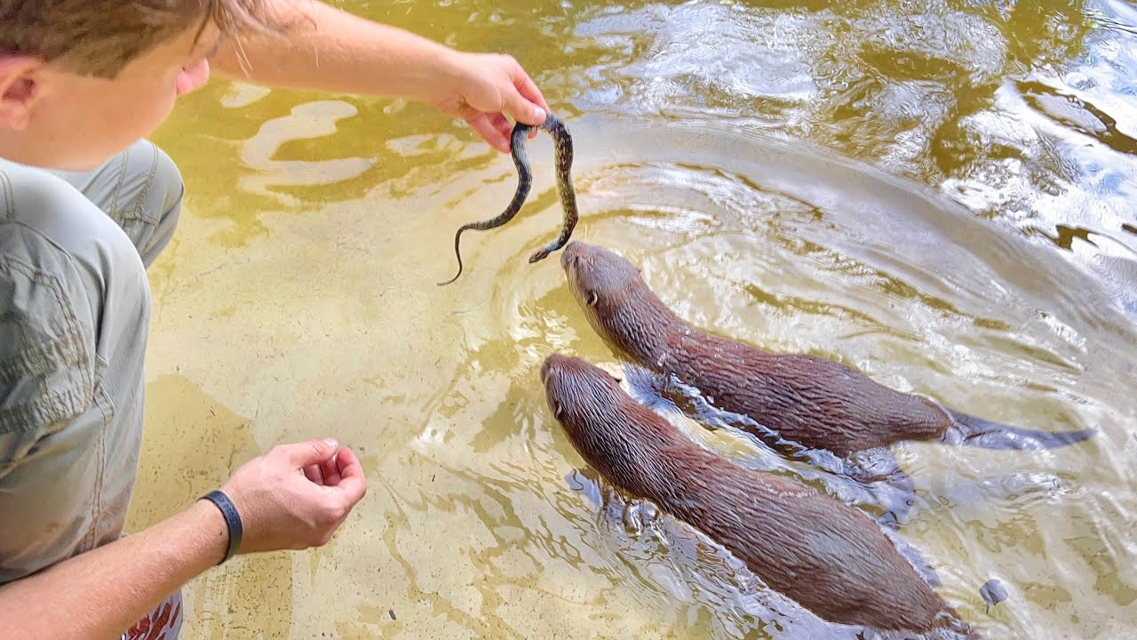 DEADLY SNAKES INVADE OUR OTTER PONDS !