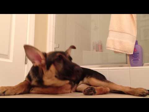 German Shepherd dog sings with his owner