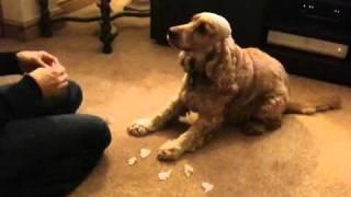 Cocker Spaniel Does Tricks