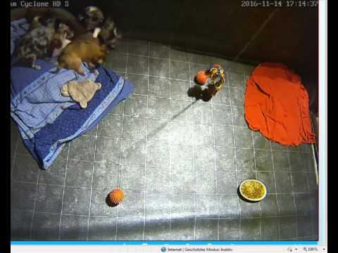 Livestream Chihuahua-Welpen