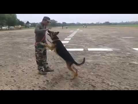 Indian Army Dog Training German Shepard Youtube