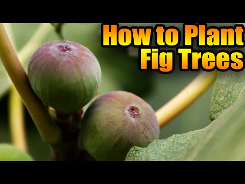 How to Plant Fig Trees