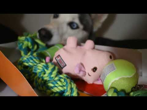 Puppies finish their Birthday Cake and Presents