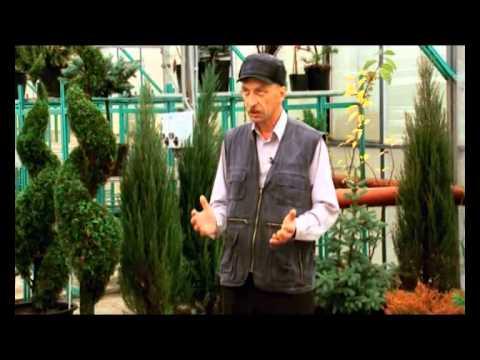 видео: Стрим ТВ Хвойные растения