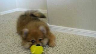 Pomeranian Puppy With Squeaky Toy