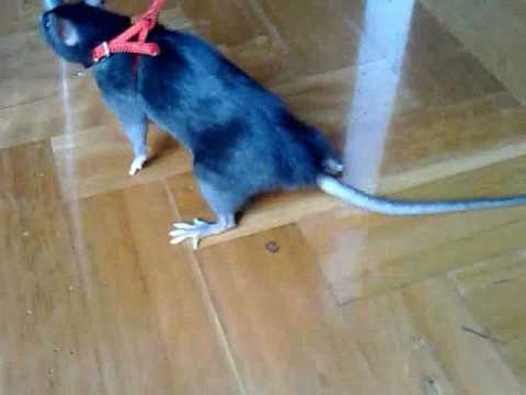 Rat Harness - YouTube
