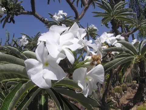 Цветущий пахиподиум или Мадагаскарская пальма. Суккулентное растение.