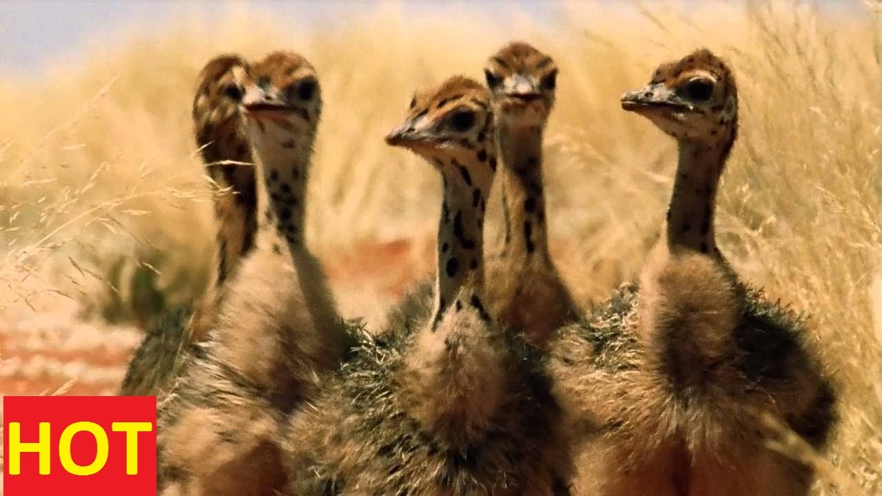 national geographic documentary animals ostrich sd discovery