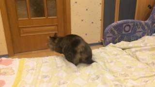 Курильский бобтейл-кот с повадками собаки, апорт, игра...