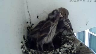Curious baby birds. Single mom: House Finch 🐦 05.16.17