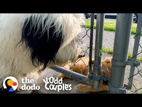 This Cat's Obsessed With The Dog Next Door   The Dodo Odd Couples