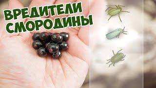 Вредители смородины🕷️ Уход за смородиной🍇  Хитсад ТВ