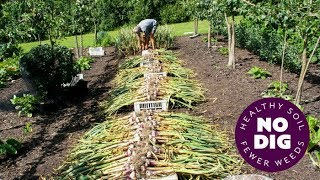 Grow garlic, an easy crop with no dig, hard or softneck, tips for harvest