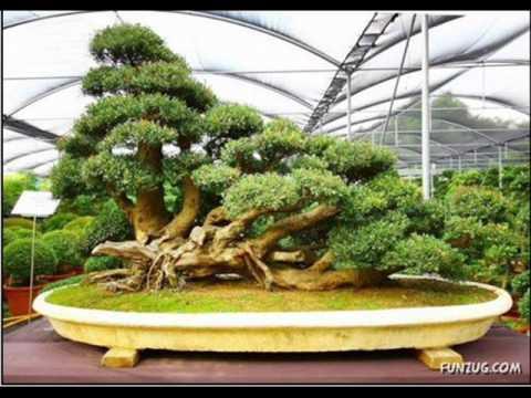 Bonsai trees youtube for Bonsai tree pics