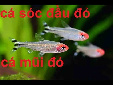 Cá Sóc Đầu Đỏ bơi theo đàn (VietSub)