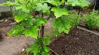 มาดูการเจริญเติบโตของกิ่งมะเขือพวงที่เสียบยอดบนต้นมะเขือเปราะ