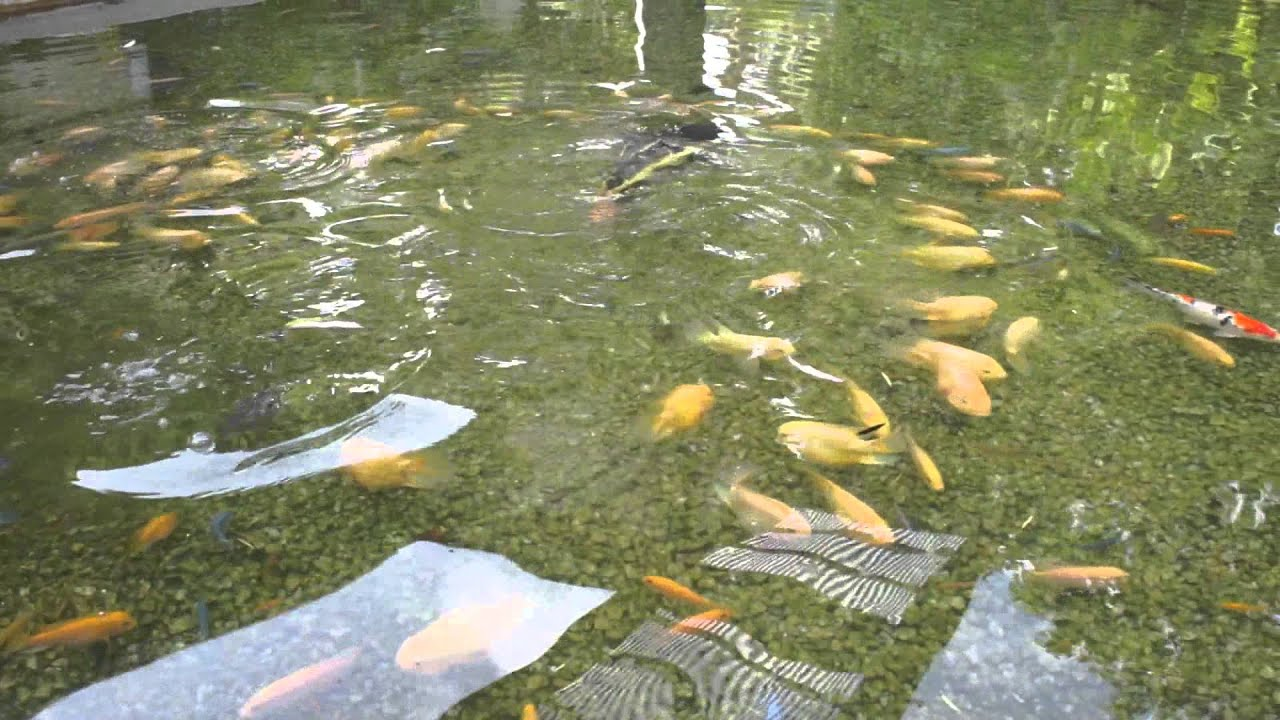 Hahaha funny video boy falling into koi fish pond youtube for How to make koi pond water clear