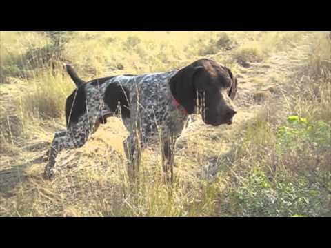 gsp-hunting-birddog-training-at-reliable-kennels,-yakima-wa