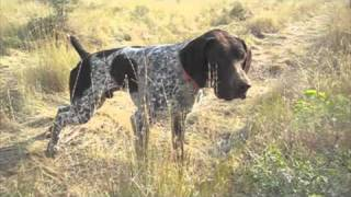 Gsp Hunting Birddog Training At Reliable Kennels, Yakima Wa
