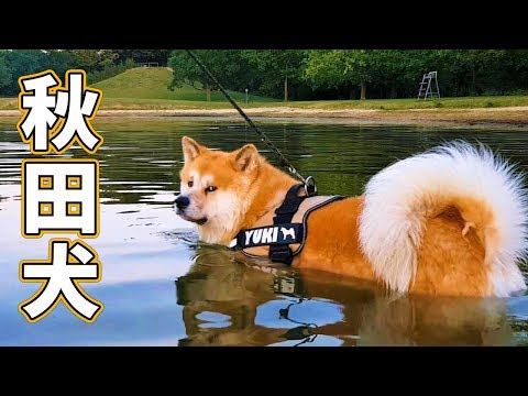 AKITA INU - SWIMMING LESSON FOR A JAPANESE DOG | YUKI LEARNS TO SWIM ()