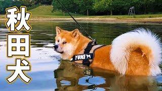 Akita Dog - Yuki, the Japanese Akita, is learning how to swim in a ...
