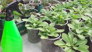 ГЛАВНЫЕ ОШИБКИ при выращивании ПЕТУНИИ желтеют и скручиваются листья что делать