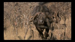 buffalo Charge in 4k! Buffalo Hunt with a Cross bow. Filmed by African Safari Photo. Hunt in Africa!