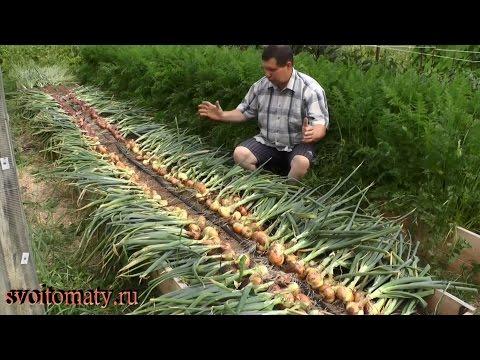 Лук. Лечебные свойства лука. Применение лука при выпадении