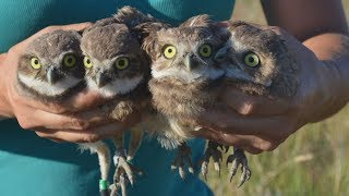 Owls displaced by wildfire find new home in Kamloops, B.C.