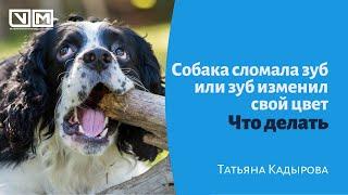Собака сломала зуб или зуб изменил свой цвет, что делать