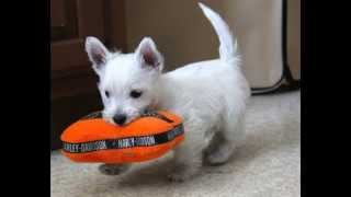 Westies Gone Wild! Westie Puppys For Sale