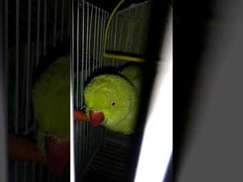 Sindhi parrot talking