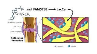 New findings on Optimal Bone Repair by  Dr. Rene  St-Arnaud