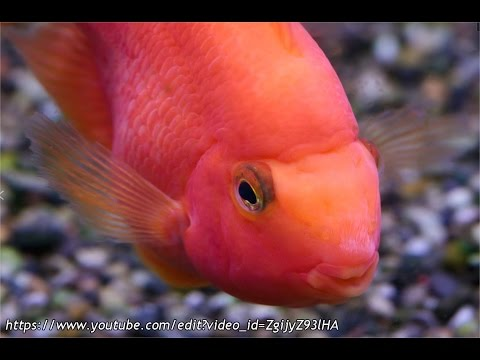 Understanding The Parrot Cichlid
