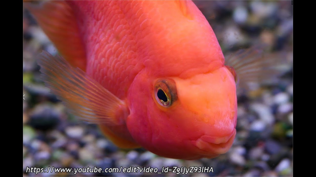 Understanding the Parrot Cichlid - YouTube