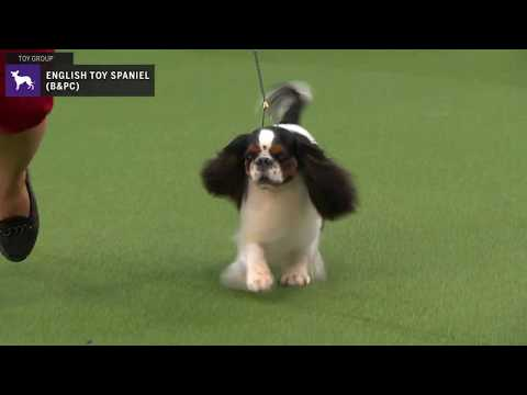 English Toy Spaniels (Blenheim & Prince Charles) | WKC | Breed Judging 2020