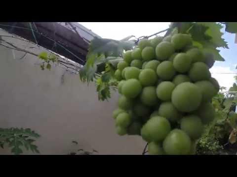 organic grapes in grow bag terrace gardening /roof top garden organic fruits