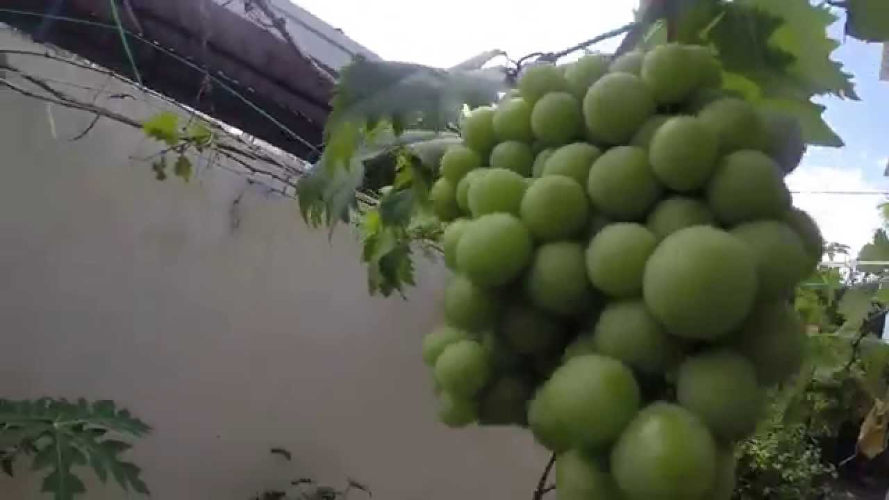 Organic Grapes In Grow Bag Terrace Gardening Roof Top