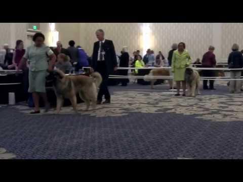 Leonberger Dog Show