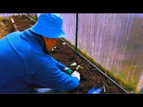 Как посадить огурцы в теплице весной. Сегодня решил высадить рассаду в деревне