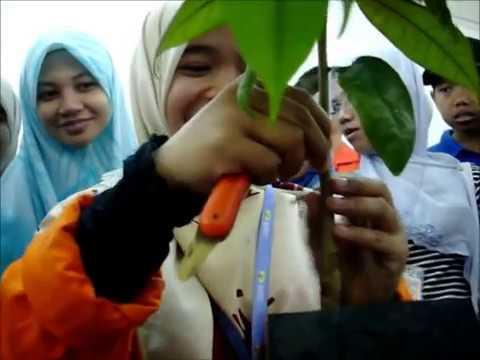 Cara Cantuman Mata Tunas Pokok Rambutan | Kebun Bandar