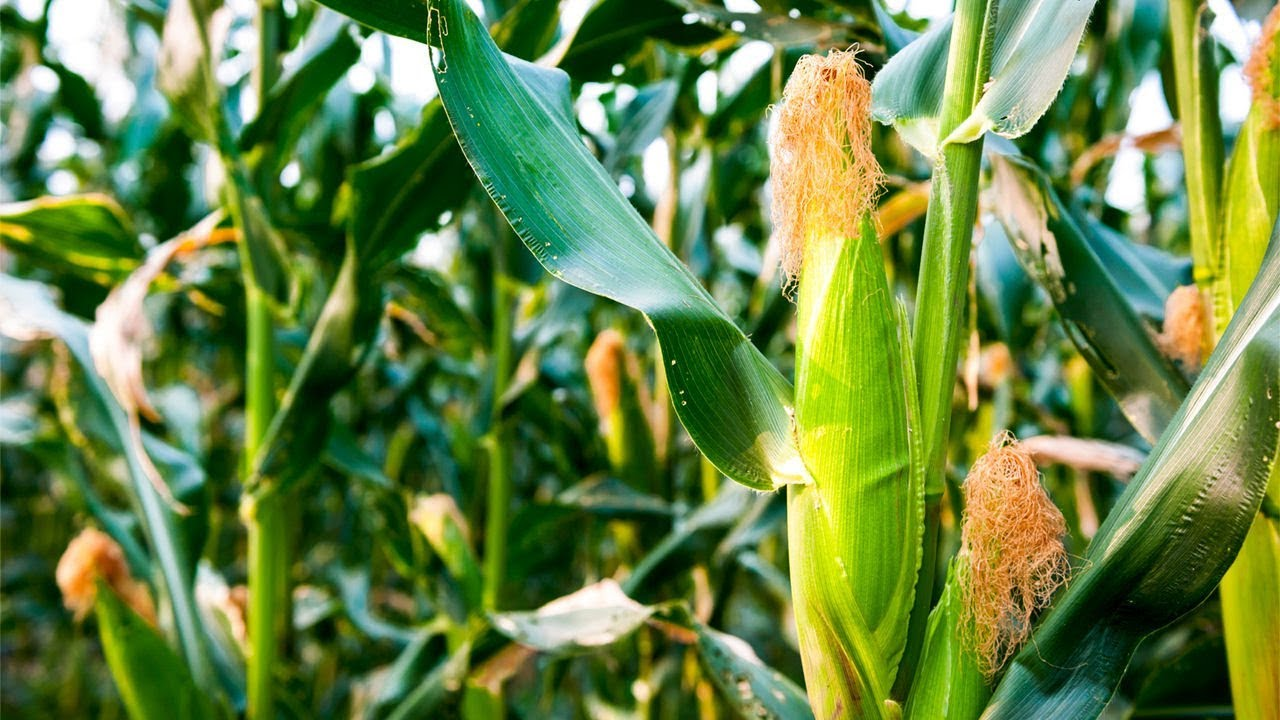 How To Grow Corn Complete Growing Guide You