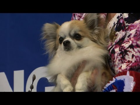 UK Toydog 2015 - Best in Show