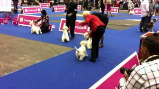 Euro Dog Show 2013 - West Highland White Terrier - Best Of Breed